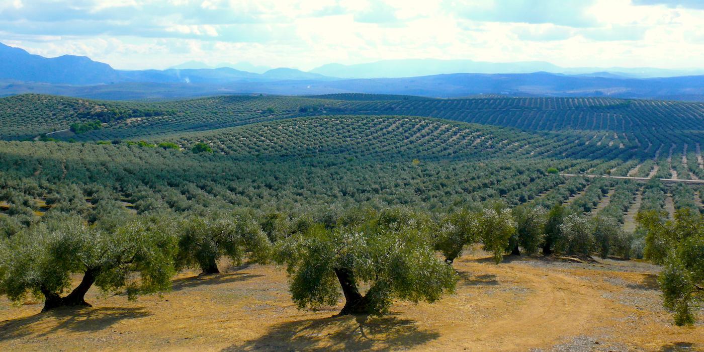 Olivenhaine Jaén Spanien